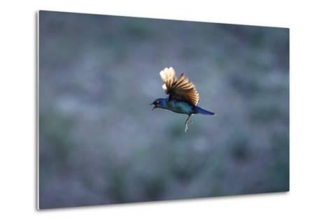 Cape Glossy Starling in Flight-Richard Du Toit-Metal Print
