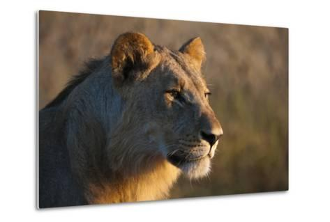 Close Up Portrait of a Young Male Lion, Panthera Leo-Sergio Pitamitz-Metal Print