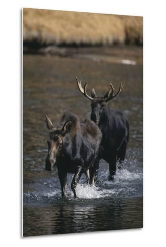 Moose Walking in River-DLILLC-Metal Print