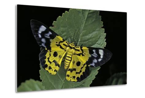 Dysphania Sp. (Moth)-Paul Starosta-Metal Print