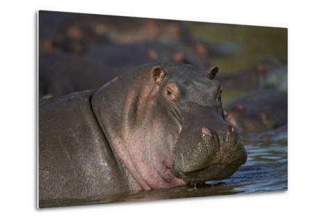 Hippopotamus (Hippopotamus Amphibius), Serengeti National Park, Tanzania, East Africa, Africa-James Hager-Metal Print