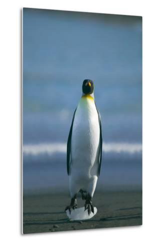 King Penguin Cooling Feet-DLILLC-Metal Print