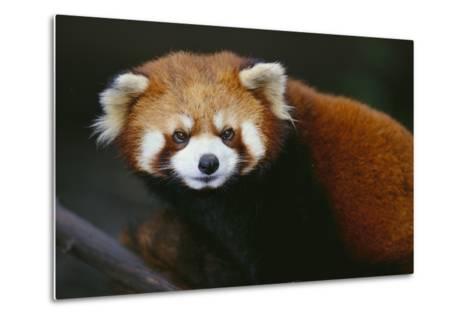 Red Panda-DLILLC-Metal Print