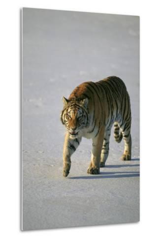 Siberian Tiger Walking on Snow-DLILLC-Metal Print