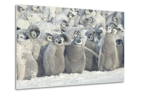 Penguin Chicks Exposed in Snow-DLILLC-Metal Print