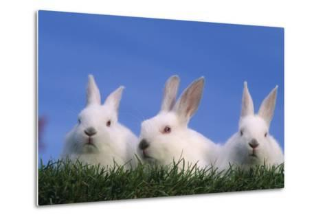 Domestic Rabbits in Grass-DLILLC-Metal Print