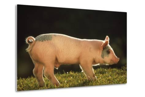 Yorkshire and Hampshire Mixed Breed Piglet-DLILLC-Metal Print