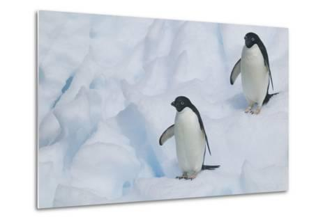 Adelie Penguins Walking on Ice Floe-DLILLC-Metal Print