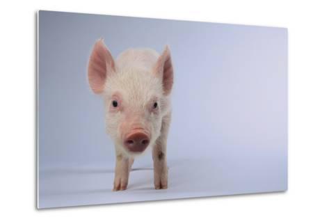 Yorkshire Pig-DLILLC-Metal Print