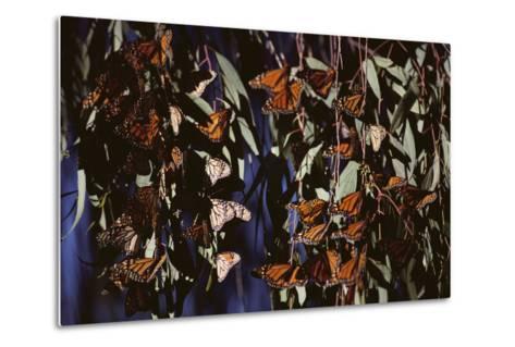 Monarch Butterflies-DLILLC-Metal Print