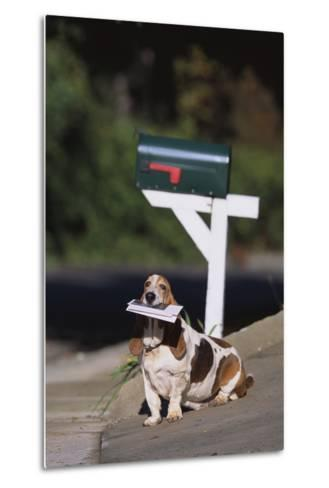 Basset Hound Fetching the Mail-DLILLC-Metal Print