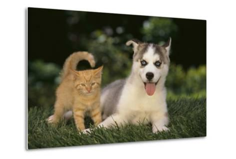 Siberian Husky Puppy and Kitten-DLILLC-Metal Print