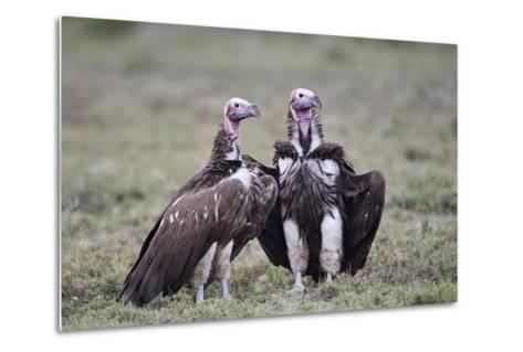 Lappet-Faced Vulture (Torgos Tracheliotus) Pair-James Hager-Metal Print