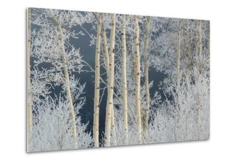 Frost Coated Branches on Aspen Trees-Tom Murphy-Metal Print