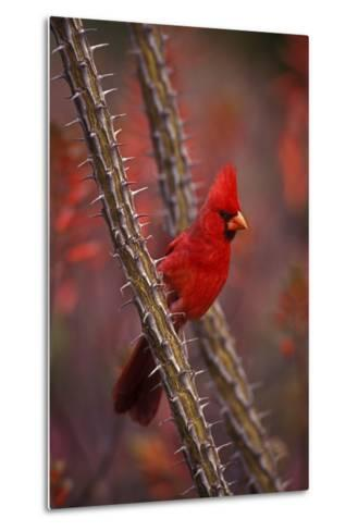 Portrait of a Male Cardinal, Cardinalis Cardinalis, Perched on a Thorny Branch-John Cancalosi-Metal Print