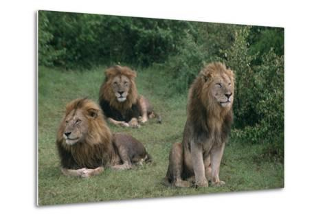 Lions in Grass-DLILLC-Metal Print