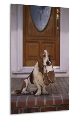 Basset Hound Waiting with Owner's Slippers-DLILLC-Metal Print