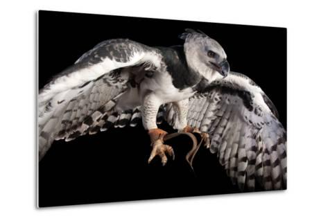 A Harpy Eagle, Harpia Harpyja, at the Los Angeles Zoo-Joel Sartore-Metal Print