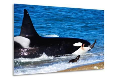 Orca (Orcinus Orca) Adult Male Hunting South American Sea Lion (Otaria Flavescens)-Pablo Cersosimo-Metal Print