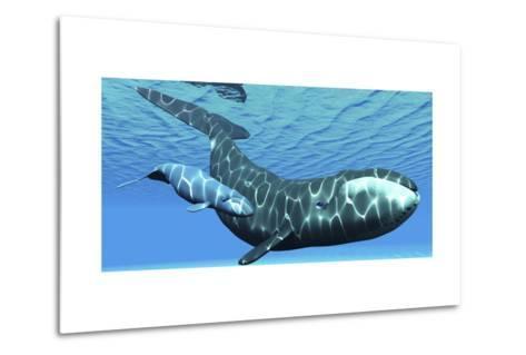 A Female Bowhead Whale Swims with Her Calf Through Ocean Waters--Metal Print