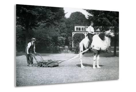 Camel Lawn-Mower, Ridden by Gardener Fred Perry at London Zoo, 1913-Frederick William Bond-Metal Print
