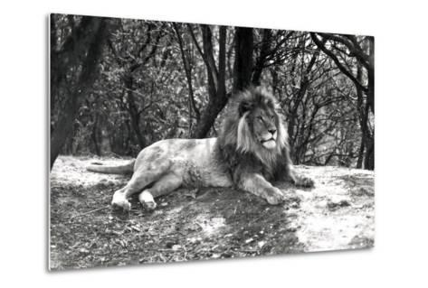 A Lion Lying Down Photographed at Whipsnade Zoo, 1935-Frederick William Bond-Metal Print