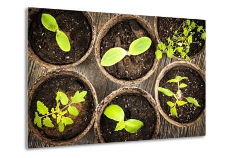 Seedlings Growing in Peat Moss Pots-elenathewise-Metal Print