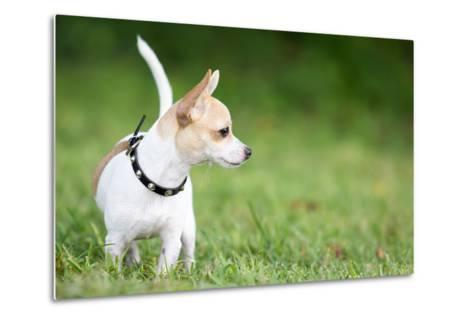 Small Chihuahua Dog Standing on a Green Grass Park with a Shallow Depth of Field-Kamira-Metal Print