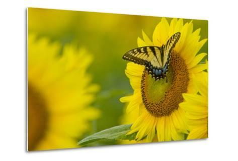 Portrait of an Eastern Tiger Swallowtail, Papilio Glaucus, on a Sunflower-Paul Sutherland-Metal Print