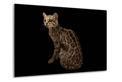 A Federally Endangered Margay, Leopardus Wiedii, at the Cincinnati Zoo-Joel Sartore-Metal Print