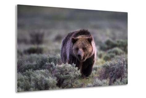 Portrait of a Grizzly Bear, Ursus Arctos, Walking Through Brush-Robbie George-Metal Print