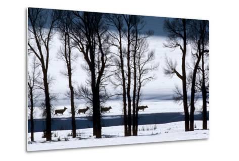 Elk Through Deep Snow in Single File Past Bare Cottonwood Trees Along the Lamar River-Tom Murphy-Metal Print
