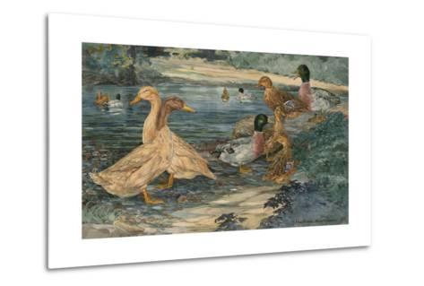 A Painting of Buff Ducks and Gray Call Ducks-Hashime Murayama-Metal Print