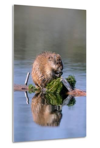 A Muskrat Devours Greens it Hauled Up from the Bottom of the Pond-Tom Murphy-Metal Print
