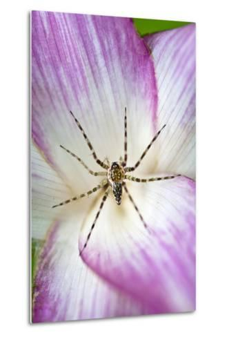 A Tiny Spider Inside Bright Pink Petals Waits to Ambush Prey Attracted to the Flower-Jason Edwards-Metal Print