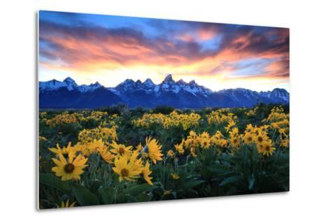 Alpine Sunflowers Illuminated by a Glowing Sunset over Snow-Capped Mountains-Robbie George-Metal Print