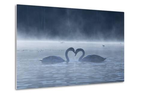 Two Mute Swans in Love, Cygnus Olor, Swim in a Pond in Richmond Park at Sunrise-Alex Saberi-Metal Print