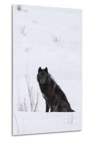A Wolf Waiting in Snow-Tom Murphy-Metal Print