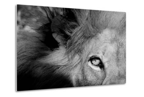 Close Up of the Eye of a Male Lion, Panthera Leo-Sergio Pitamitz-Metal Print