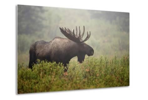 Portrait of a Male Moose, Alces Alces, in a Foggy Landscape-Bob Smith-Metal Print