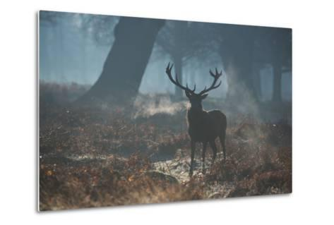 A Red Deer Stag Stands His Ground in a Misty Richmond Park-Alex Saberi-Metal Print