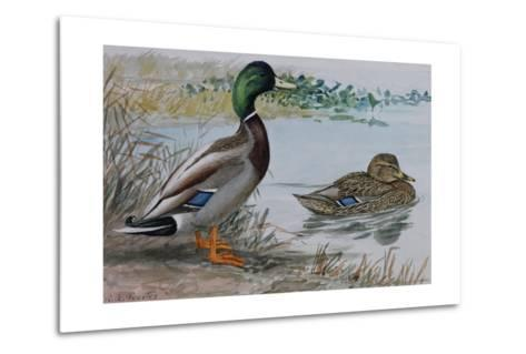 A Painting of a Male and a Female Mallard-Louis Agassi Fuertes-Metal Print