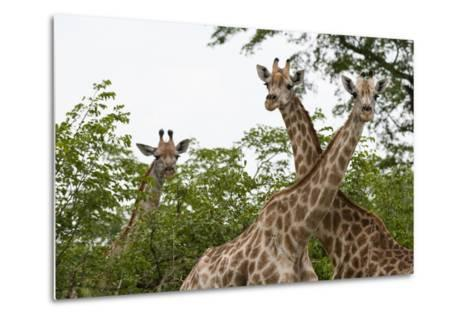 A Portrait of Three Female Southern Giraffes, Giraffa Camelopardalis, Looking at the Camera-Sergio Pitamitz-Metal Print