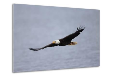 A Bald Eagle, Haliaeetus Leucocephalus, in Flight over Water-Robbie George-Metal Print
