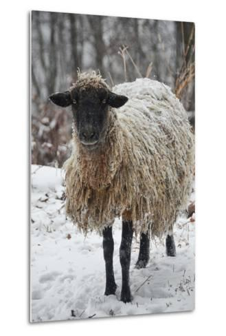 A Mixed Breed Sheep Ewe Standing in Snow-Amy White and Al Petteway-Metal Print