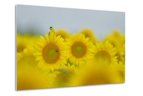 An American Goldfinch, Carduelis Tristis, on a Sunflower in a Field of Sunflowers-Paul Sutherland-Metal Print