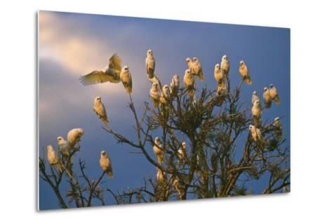 A Flock of Western Corellas Perching in a Tree in Australia's Outback in South Australia-Medford Taylor-Metal Print