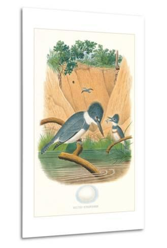Belted Kingfisher and Egg--Metal Print