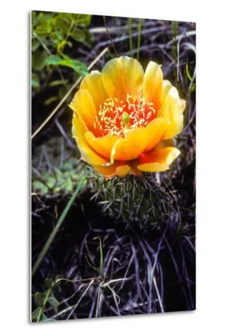 The Flower of a Prickly Pear Cactus-Tom Murphy-Metal Print