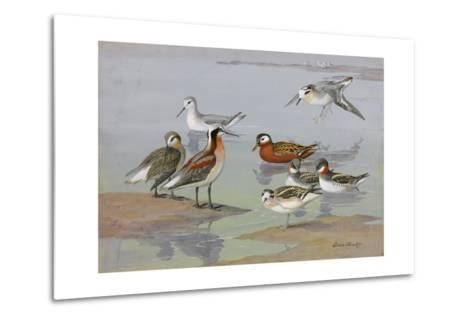 A Painting of Three Species of Phalaropes-Allan Brooks-Metal Print